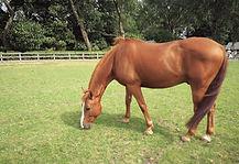 Comanche eating grass.jpg