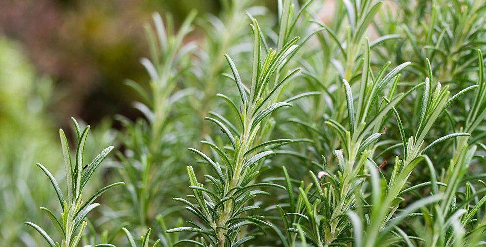 Herb, Rosemary