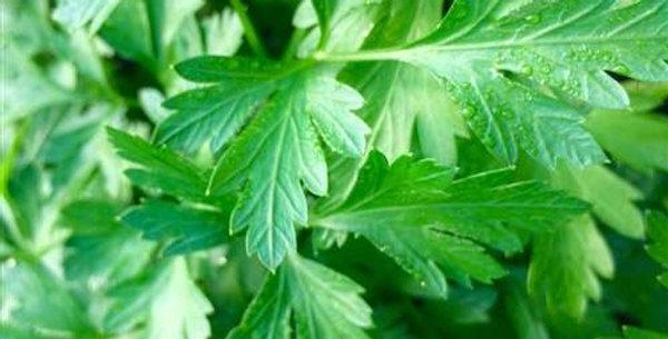 Herb, Flat Leaf Parsley