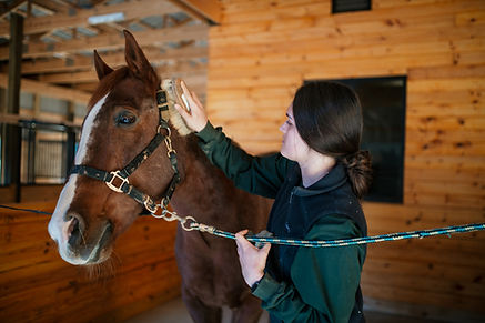 Intern grooming horse Dumbar