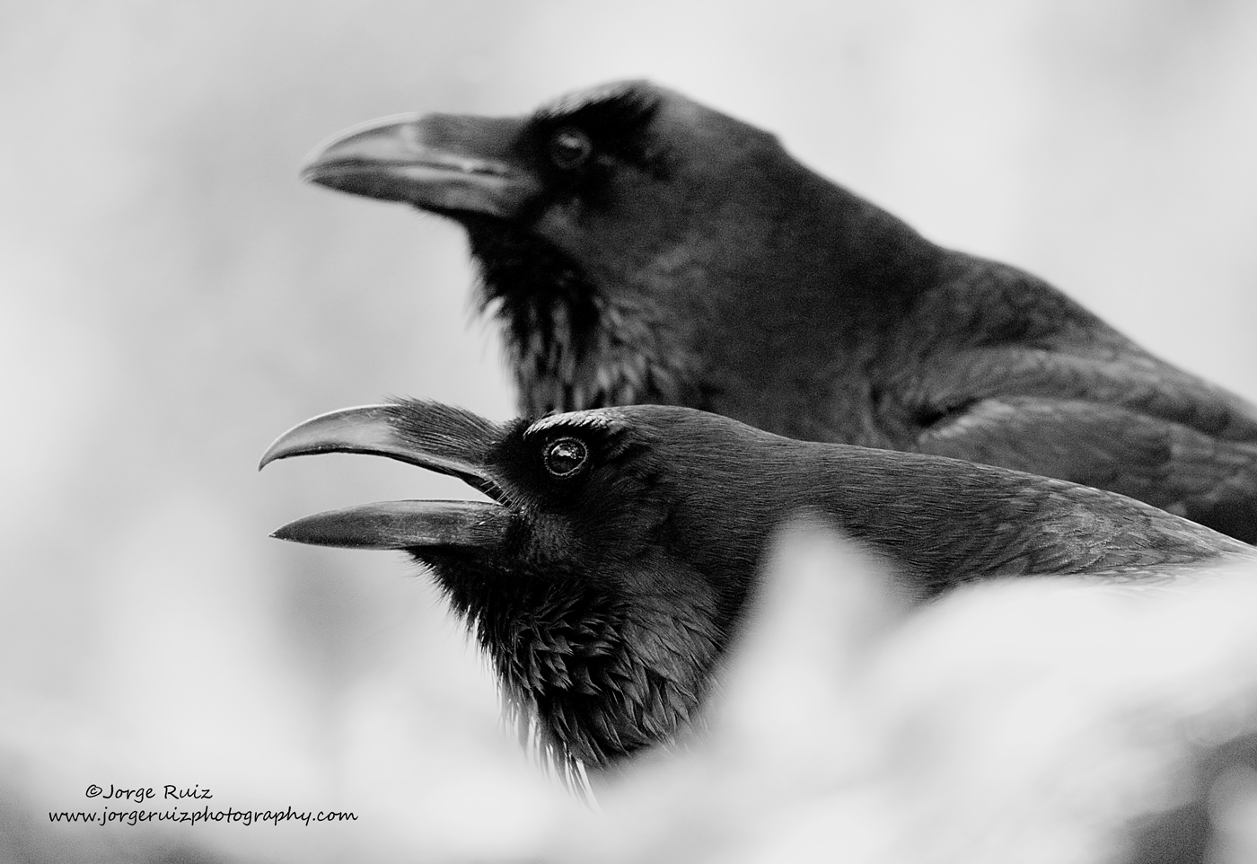Pareja de Cuervos