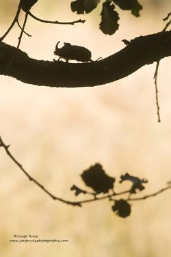 Escarabajo Rinoceronte