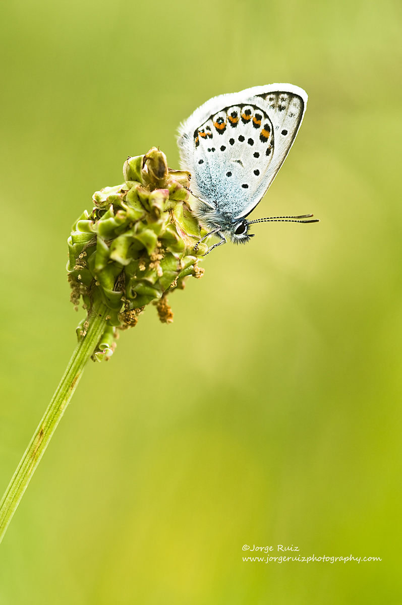 Mariposa Icaro