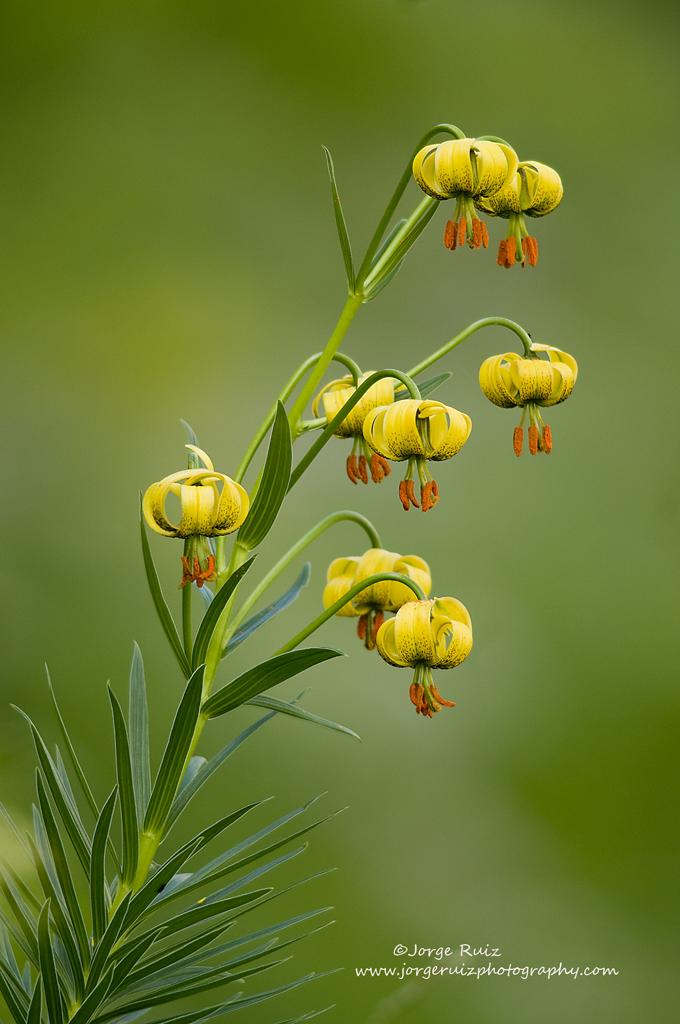 Flor de Lís