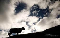 Vaca y nubes