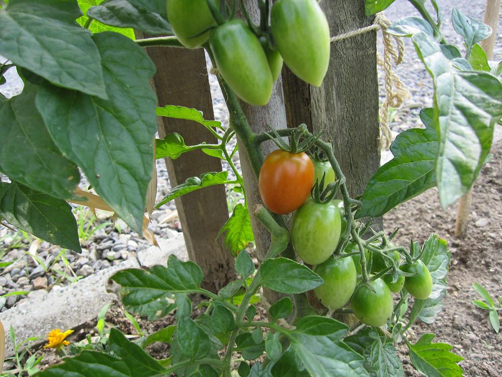 一つだけ色づいたミニトマト