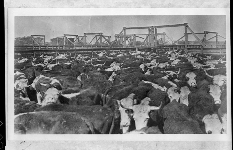 Cattle pens