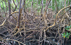 Roots of a Mangrove Ecosystem
