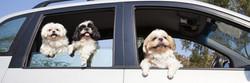 3 dogs in a car 3.jpg