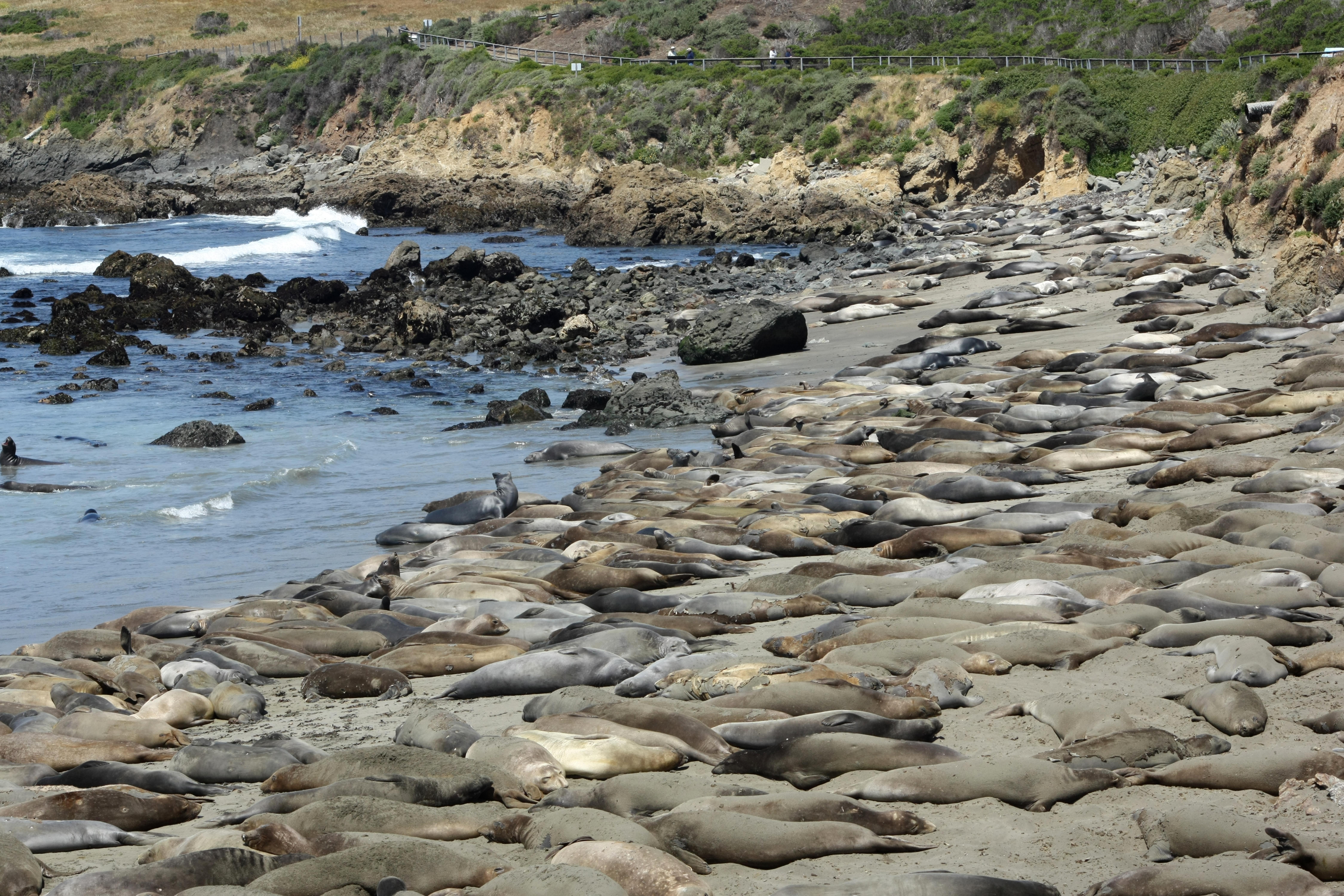 Elephant Seal Reserve near San Simeon
