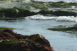 Pacific Seaweed