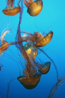 Monterey Bay Aquarium - Jelly fishes