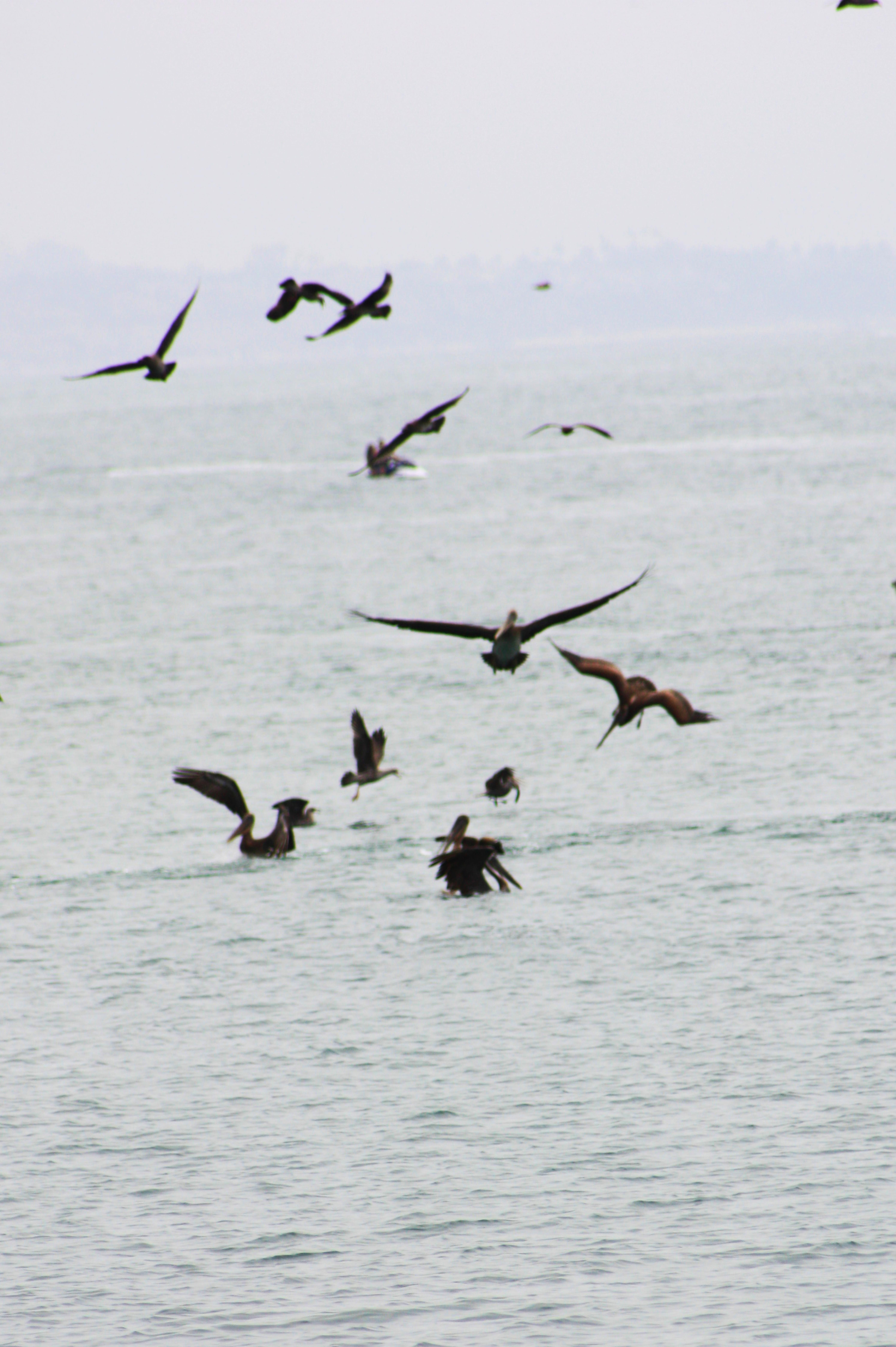 Dana Point Harbor - Pelicans Dinner
