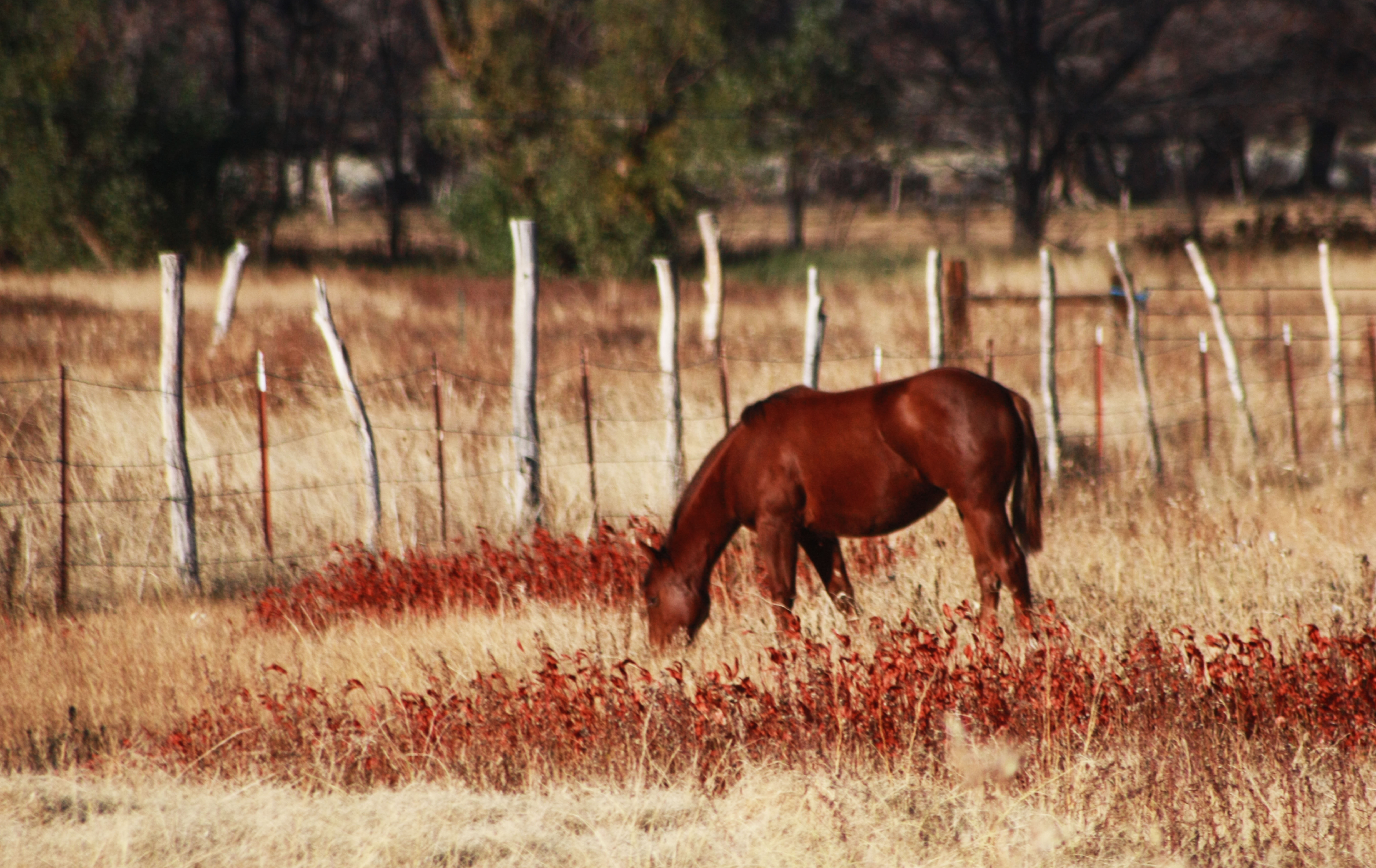 Horse grazing - Big Pine, CA