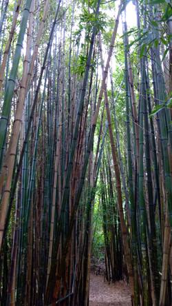 San Francisco - Botanical Gardens 2 Path through the Bamboo