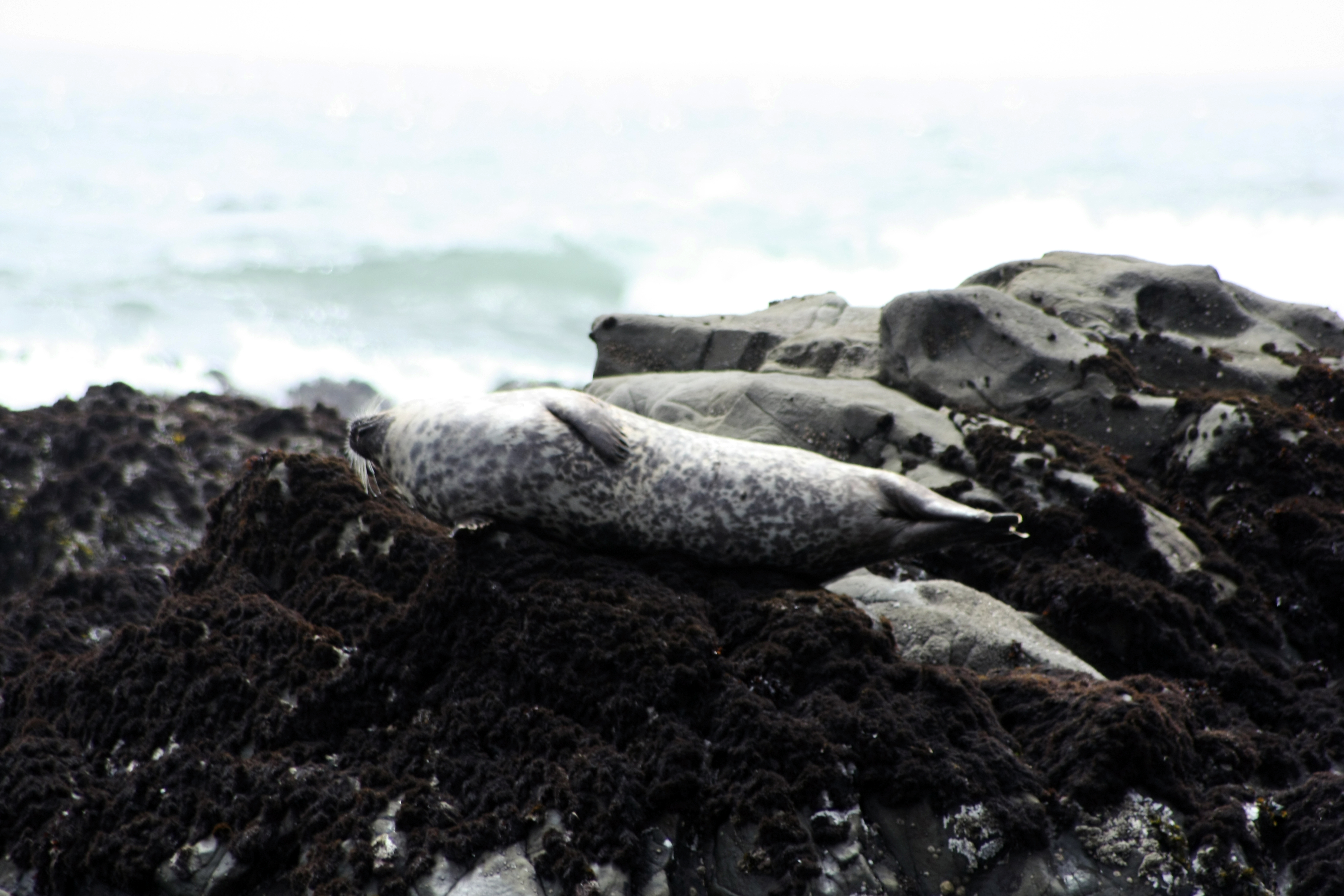 Cambria - Seal Relaxing on the rocks