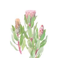 Protea mundii
