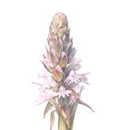 Satyrium hallackii subsp. hallackii