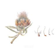 Protea nitida 2