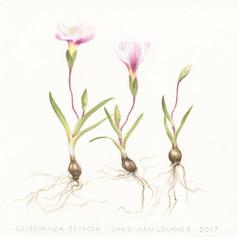 Geissorhiza setacea