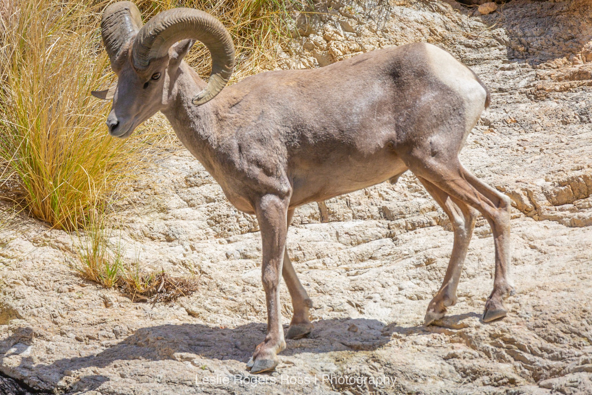 A Big Horn Sheep Pauses