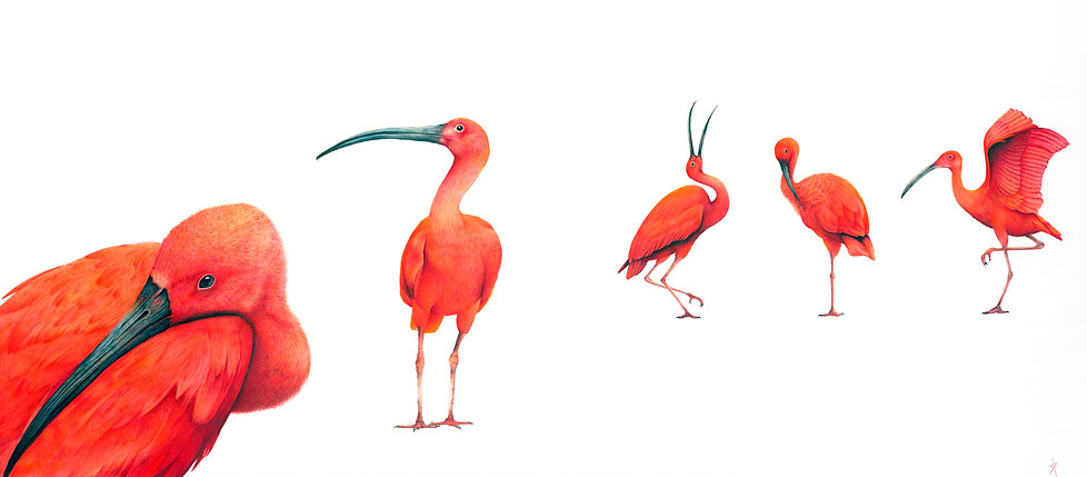 Scarlet ibis fine art drawing by Darren Hughes