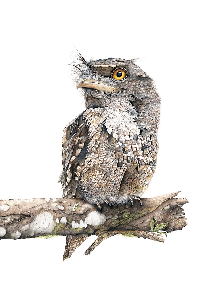 Tawny frogmouth fine art drawing by Darren Hughes