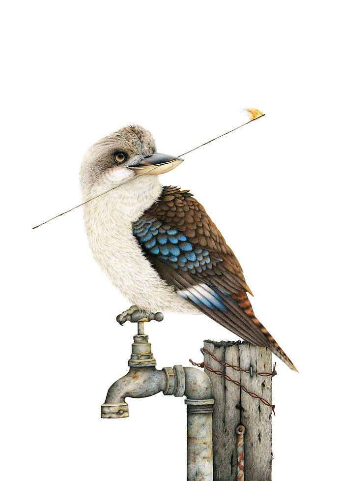 Kookaburra fine art drawing by Darren Hughes