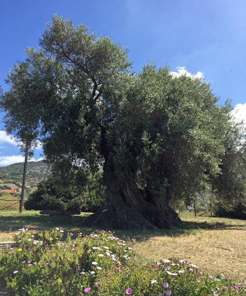 1000年以上経つでっかいオリーブの原木