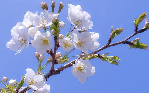 apple-blossom-885.jpg