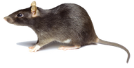 mossif3_rat.png