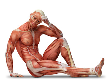 Mišići. Kako rastu?