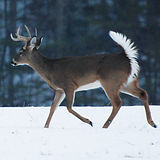 Winter Whitetail by Phillip Jones courte