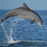 Credit Dolphin Ecology Project_leap.jpg