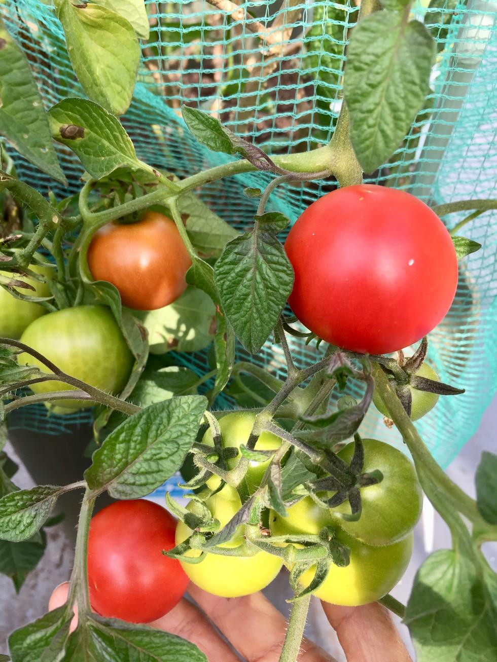 家庭菜園のプチトマト
