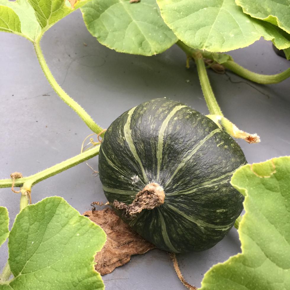 家庭菜園のかぼちゃ