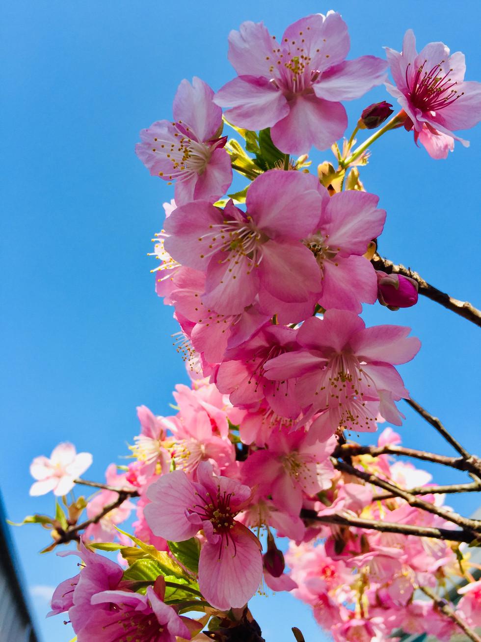 もぐの森の河津桜満開!