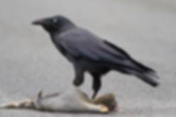 Corvus_tasmanicus_-_Collinsvale_JJHarris