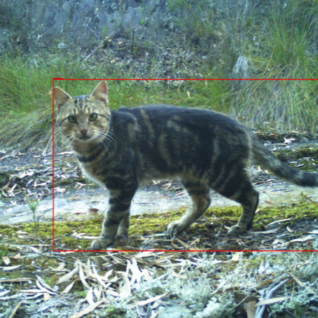 GONE FERAL: TASMANIA'S HISTORY WITH CATS