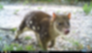 quoll_edited.png