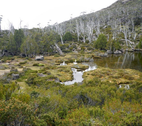 NO COUNTRY FOR OLD TREES: TASMANIAN ANCIENT PLANTS AND NEW FIRE REGIMES