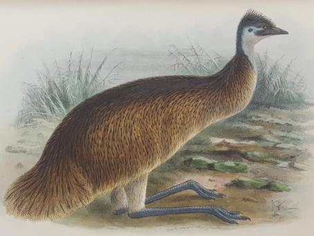 THE FORGOTTEN TASMANIAN EMUS