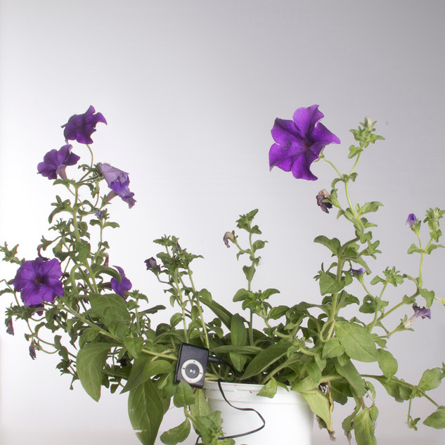 Petunia Surfina. Petunia × atkinsiana Surfinia Group