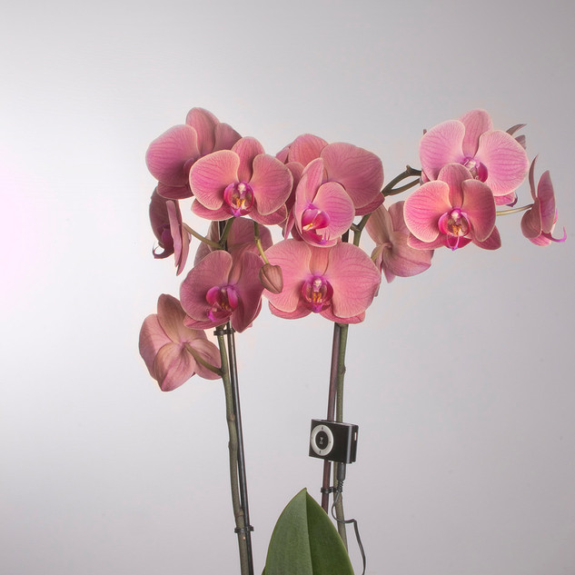 Orquídea. Phalaenopsis mix. Asian Coral