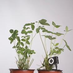 Trèbol roig. Trifolium hirtum