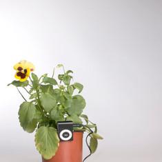 Pensaments. Viola × wittrockiana