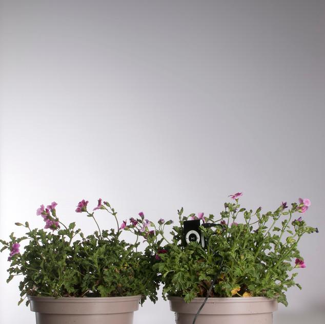 Gerani. Pelargonium Graziosa Piccola