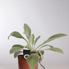 Candelera. Verbascum thapsus