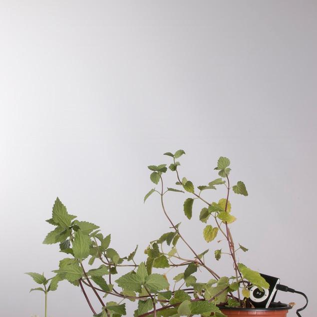 Ortiga falsa. Lamium maculatum