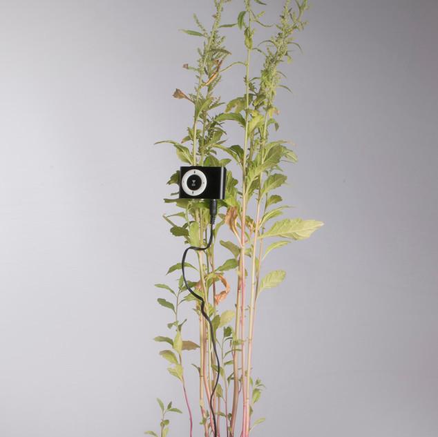 Te bord. Chenopodium ambrosioides